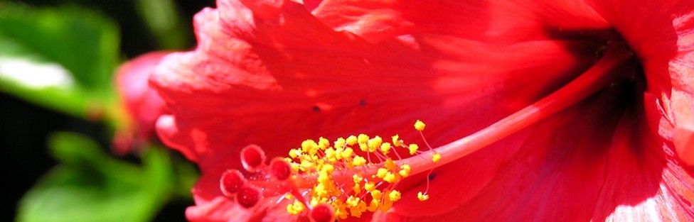 Das kurze Glück der Hibiskusblüte